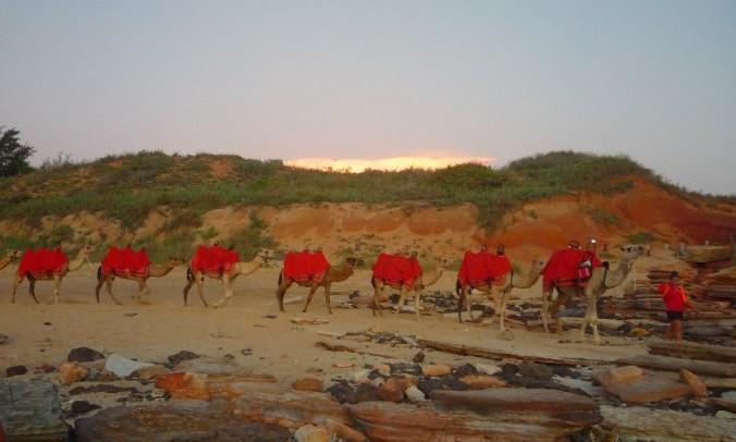 Chameaux broome australie