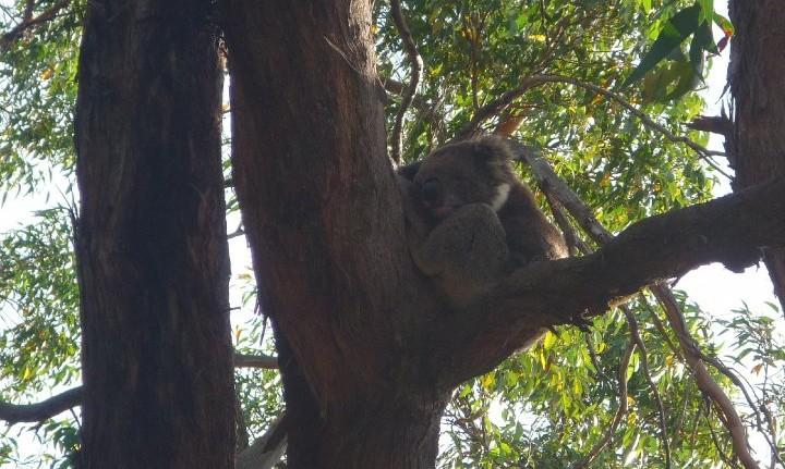 Koala -Great ocean road - australie