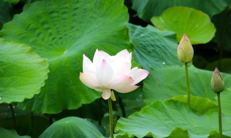 Fleur lotus -Lac Inle - Birmanie