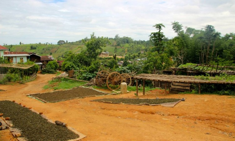 séchage feuilles thé - Trek Pays Shan - Birmanie