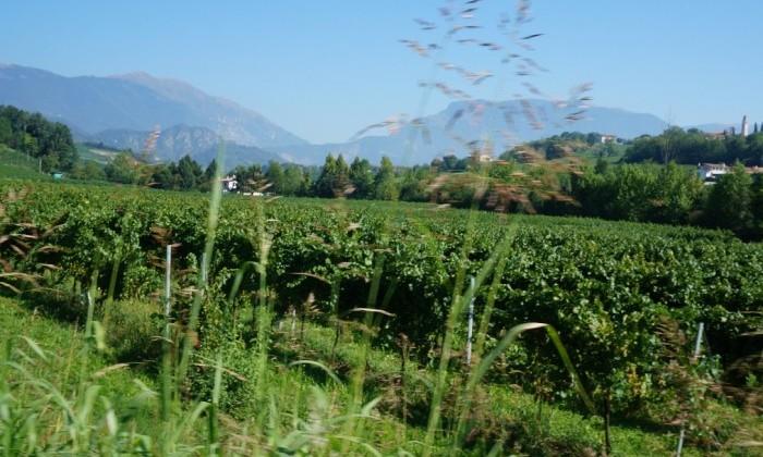 Vignes Conegliano