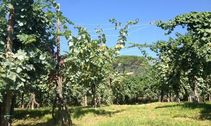Vignes - Conegliano - Italie
