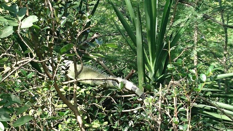 iguane-les-saintes