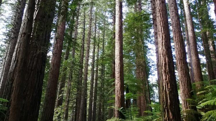 Forest-Rotorua - Nouvelle Zélande
